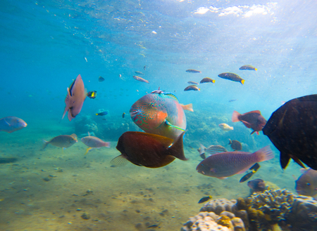 Underwater seaview with tropical fish school. Young coral formation and coral fish shoal. Butterflyfish, parrotfish, surgeonfish. Aquarium fish in wild nature. Exotic island seashore. Undersea photo