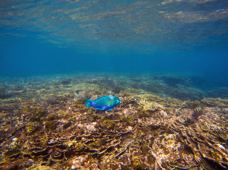 Underwater landscape with blue parrotfish. Tropical seashore undersea photo. Coral ecosystem with sea animal and plant. Exotic island sea snorkeling scene. Natural aquarium. Parrot fish in corals