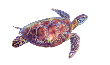 Sea turtle on white background. Marine tortoise isolated. Green turtle photo clipart. Marine animal of tropical seashore. Coral reef ecosystem inhabitant. Green sea turtle full body isolated on white Stockfoto