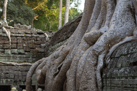 Tropical tree in stone ruin of Angkor Wat complex, Cambodia. Aerial roots or lianas over stone wall. Angkor Wat landscape. Фото со стока