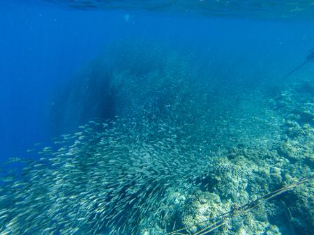 Sardine carousel and coral reef in open sea water. Massive fish school underwater photo. Pelagic fish school swimming in seawater. Saltwater mackerel shoal. Oceanic wildlife. Sea sardines in ocean