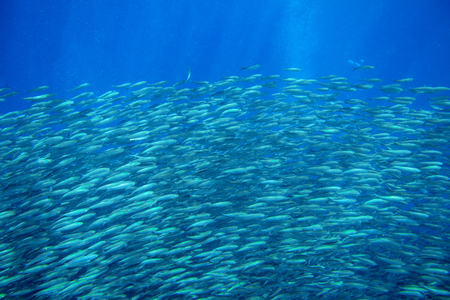 Sardine shoal in open sea water closeup. Massive fish school underwater photo. Pelagic fish swimming in seawater. Saltwater mackerel shoal. Oceanic wildlife. Sea sardines in ocean. Marine resources