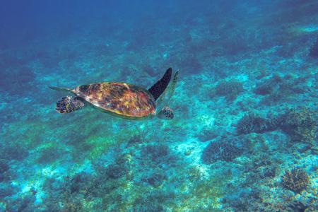 Sea turtle underwater photo. Coral reef animal in ocean waters. Marine tortoise undersea. Green turtle in natural environment. Marine animal underwater. Tropical seashore. Oceanic animal portrait