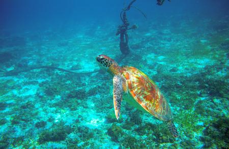 Sea turtle near boat anchor. Coral reef animal underwater photo. Marine tortoise undersea. Green turtle in natural environment. Marine animal underwater. Tropical seashore. Oceanic animal portrait
