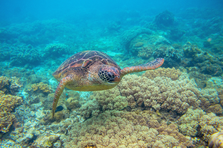 Green turtle in corals underwater photo. Sea turtle closeup. Oceanic animal in wild nature. Summer vacation activity. Snorkeling or diving banner template. Tropical seashore with sea tortoise