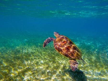 Sea tortoise in sun beam. Green turtle underwater photo. Wild animal in natural environment. Endangered species of coral reef. Tropical island seashore wildlife. Snorkeling or diving in tropics