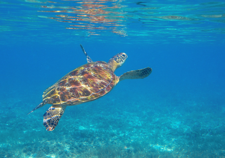 Sea turtle by water surface. Green turtle underwater photo. Wild marine animal in natural environment. Endangered species of coral reef. Tropical seashore wildlife. Snorkeling hobby Banco de Imagens