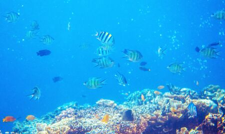 Underwater landscape with coral reef and tropical fish. Yellow black striped dascillus. Tropical aquarium background. Coral reef ecosystem. Tropic seashore environment. Snorkeling in exotic island