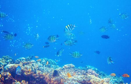 Underwater landscape with tropical fish and coral reef. Yellow black striped dascillus. Tropical aquarium background. Coral reef ecosystem. Tropic seashore environment. Diving in exotic island