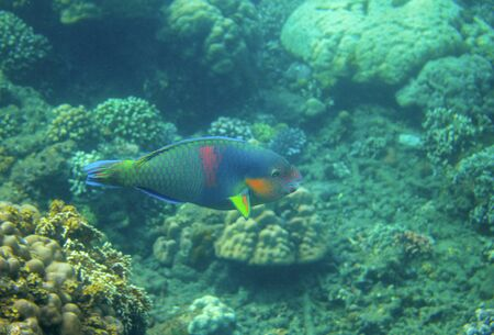 Green and blue parrotfish in coral reef, underwater photo. Colorful tropical fish underwater photo. Parrotfish in wild nature. Tropical fish Parrot on sea bottom background. Coral reef ecosystem Banco de Imagens