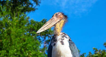 Marabou stork bird with long beak and bald head. African bird in zoo. Long legs and beak bird. Carnivorous bird species. Wildlife of Africa. Birdwatching portrait. Tropical zoo inhabitant on blue sky