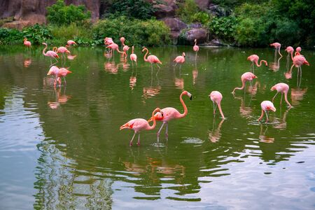 Pink flamingo flock in green water. Beautiful tropical nature photo. Flamingo bird in lake water. Water bird with pink and white feather. Pink flamingos flock closeup. Tropical aviary in zoo