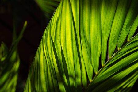Green leaf of tropical plant photo. Decorative flora in sunlight. Palm leaf in backlight. Tropical plant abstraction. Exotic island nature concept. Young palm branch. Tropical floral banner template 写真素材