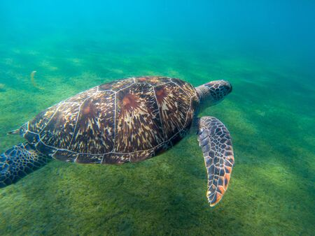 Sea turtle in green shore of tropical sea. Big marine tortoise in natural environment. Snorkeling or diving banner with olive green turtle. Tropical seashore animal. Summer vacation adventure Banco de Imagens