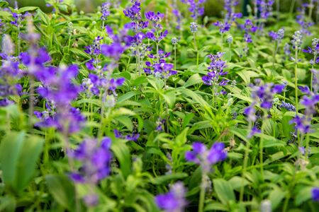 Tiny violet flowers in green grass, botanical garden photo closeup. Gentle floral abstraction. Summer garden flowerbed detail. Floral banner template. Purple blossom in greenery. Summer meadow Zdjęcie Seryjne