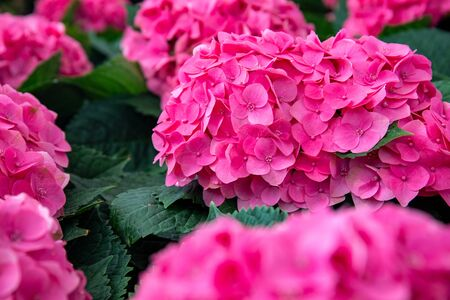 Pink hydrangea flower in greenery, botanical garden photo closeup. Bright pink tropical flower on bush. Exotic garden detail. Hydrangea inflorescence macro photo. Pink and green floral cover