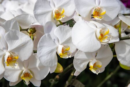 White orchid branch, botanical garden photo closeup. Tropical botanical garden photo closeup. Fresh orchid flower texture. Aromatic tropical flower. Beautiful floral template for wedding card