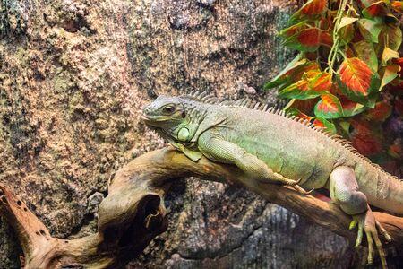 Tropical lizard in terrarium. Iguana closeup photo. Green lizard relax in warm light. Terrarium enclosure zoo. Exotic animal banner template. Tropical reptile care and housing. Keeping iguana as pet Zdjęcie Seryjne