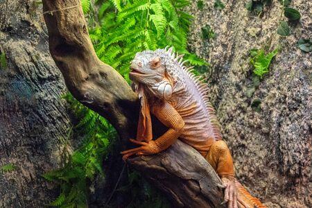 Tropical lizard in terrarium. Iguana closeup photo. Orange lizard rest on wooden trunk. Terrarium enclosure in zoo. Exotic animal portrait. Tropical reptile care and housing. Keeping iguana as pet