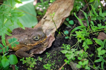 Tropical toad bright eye in green plants. Magic eye of tropical frog. Exotic animal closeup. Tropical fauna as pet in terrarium. Frog or toad in summer foliage. Summer forest animal. Amphibian photo