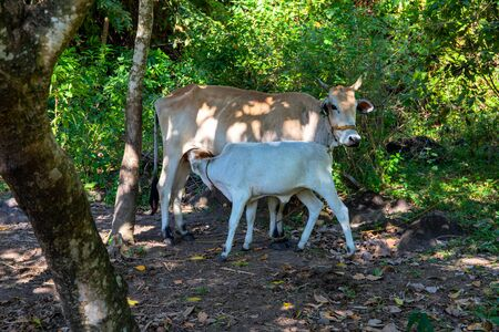 Cow mother and baby on green forest background. White calf sucking udder cow. Domestic or farm animal family. Cattle breeding and litter. Cows on green pasture outdoor. Asian village scene. Standard-Bild