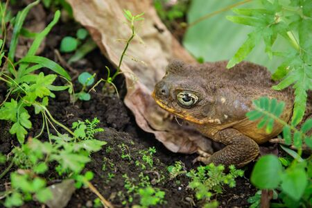 Tropical toad bright eye in green plants. Magic eye of tropical frog. Exotic animal closeup. Tropical fauna in zoo or terrarium. Frog or toad in summer foliage. Summer forest animal. Amphibian photo