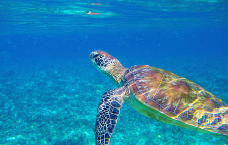Sea turtle in blue lagoon. Cute sea animal underwater photo. Tropical island turtle snorkeling and diving banner template. Summer vacation travel activity. Marine tortoise in natural environment