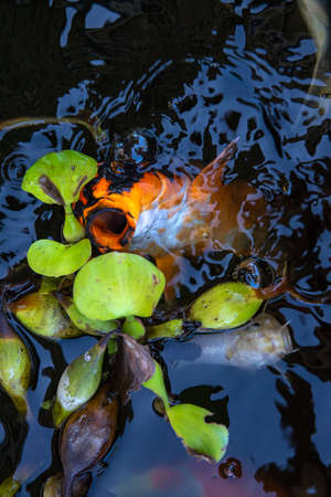 Orange koi fish in dark lake, top view photo of outdoor aquarium. Chinese koi carp and water lily. Zen garden natural background. Splashing water around gold fish. Orange carp with open mouth in water