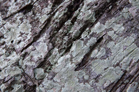 Mossy bark texture closeup. Faded weathered bark with lichen. Natural textured background. Rustic wood backdrop. Tree trunk macro photo. Grungy lumber close-up. Rough natural wood surface Фото со стока