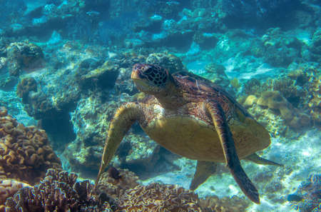 Sea turtle in blue water. Cute sea turtle in blue water of tropical sea. Green turtle underwater photo. Wild marine animal in natural environment. Endangered species of coral reef. 스톡 콘텐츠