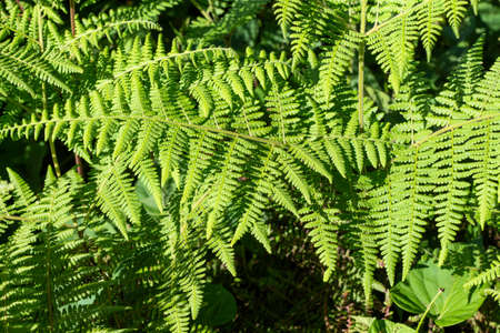 Fresh green fern leaves overlay top view photo. Summer forest nature detail. Fern leaf texture. Wooden meadow in sunlight Stock fotó