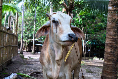 Bull on cattle farm, farm animal portrait. South Asia agriculture. Cow or bull portrait. Brown bull with white head and rope in nose. Livestock unethical raising
