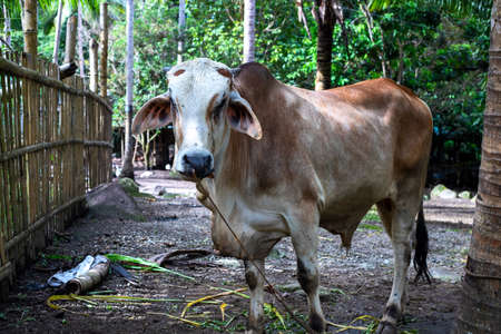 Bull on cattle farm, farm animal closeup. South Asia agriculture. Cow or bull portrait. Brown bull with white head and rope in nose. Livestock unethical raising