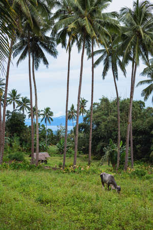 Black bull on pasture, farm animal portrait. Cattle in South Asia. Agriculture land on tropical island. Thin cow in asian village. Simple bamboo shelter under palm trees. Seaview from rustic farm