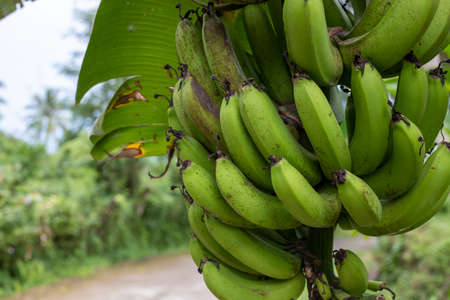 Banana branch closeup in asian village. South Asia rural land traveling. Picking up banana from palm tree. Green banana type or species. Raw tropical fruit in garden. Exotic island agriculture 스톡 콘텐츠