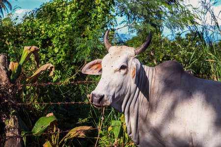 White cow on green bushy landscape. Big white bull in sunlight. Free pasture for livestock. White cow on free grazing. South Asia agriculture and husbandry. Cute farm animal