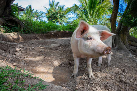 Cute pig on outdoor pasture of farm. Ethical animal farming. Outdoor pasture for a piglet. Pink piglet closeup with soft eat and snout. Pig as farm animal. Summer farm scene