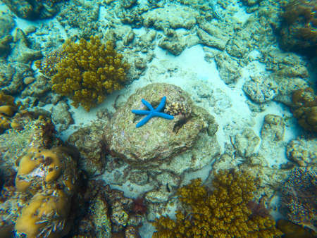 Corals and starfish in blue sea water, underwater nature photography. Linckia Laevigata blue star fish top view. Coral reef undersea landscape with marine animals. Exotic island lagoon diving Banque d'images