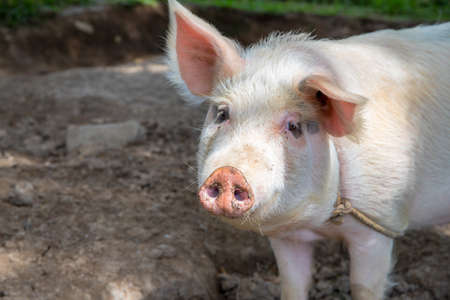 White pig on outdoor pasture of farm. Ethical animal farming. Outdoor pasture for a piglet. Pink piglet closeup with soft eat and snout. Pig as farm animal. Summer farm scene