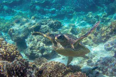 Sea turtle in blue water. Close up sea photo. Cute sea turtle in blue water of tropical sea. Green turtle underwater photo. Wild marine animal in natural environment. Endangered species of coral reef.