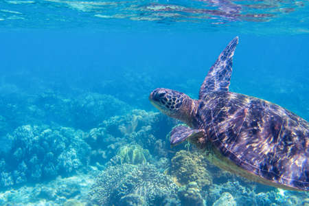 Sea turtle in blue water, close up sea photo. Cute sea turtle in blue water of tropical sea. Green turtle underwater photo. Wild marine animal in natural environment. Endangered species of coral reef.