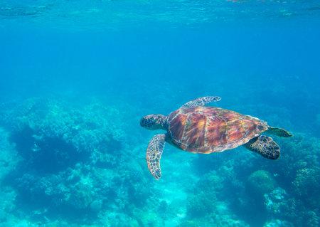Sea turtle in blue water. Green turtle underwater photo. Wild marine animal in natural environment. Endangered species of coral reef. Tropical seashore wildlife. Snorkeling with sea turtle.