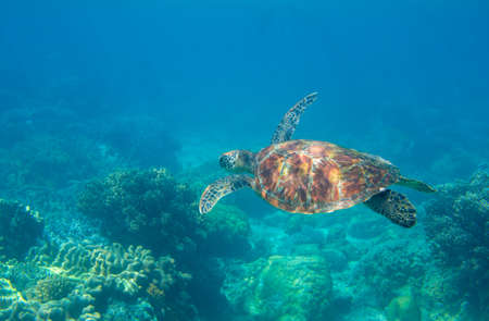 Sea turtle in blue water. Friendly marine turtle underwater photo. Oceanic animal in wild nature. Summer vacation activity. Snorkeling or diving banner template. Tropical seashore with sea tortoise.
