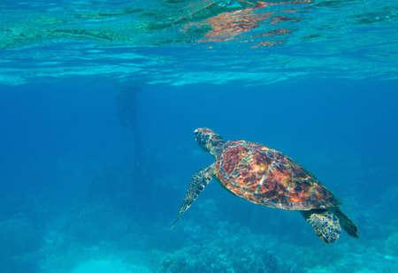 Sea turtle in blue water, underwater wild nature photo. Green turtle underwater photo. Wild marine animal in natural environment. Endangered species of coral reef. Tropical seashore wildlife. Stock fotó