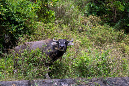 Black carabao bull in tropical bush, asian farm animal photo. Free range pasture for farm animal. Carabao bull with horns grazing in sunny meadow. South Asia rural scene. Asian cow species on pasture