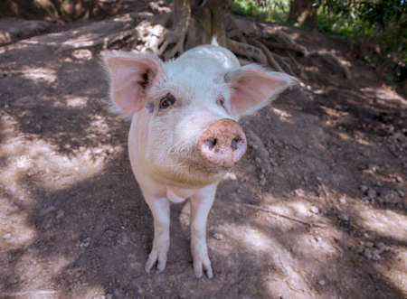 Small piglet on the farm. White pig on outdoor pasture of farm. Ethical animal farming. Outdoor pasture for a piglet. Pink piglet closeup with soft eat and snout. Pig as farm animal. Summer farm.