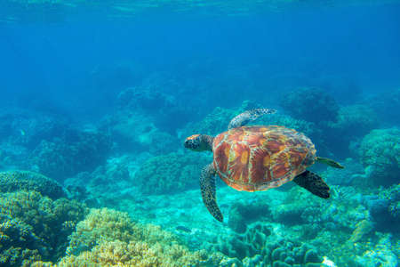 Sea turtle photo in ocean nature. Tropical seashore diving banner template. Summer vacation travel card. Marine animal in natural environment. Olive green turtle undersea in coral reef.