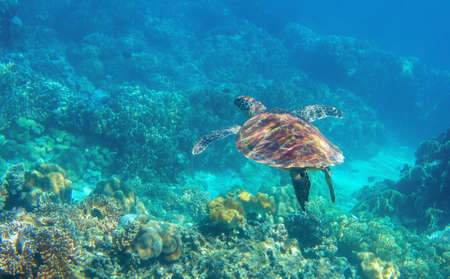 Sea turtle swimming in blue water. Cute sea turtle in blue water of tropical sea. Green turtle underwater photo. Wild marine animal in natural environment. Endangered species of coral reef.