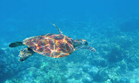 Sea turtle underwater photo. Tropical seashore diving banner template. Summer vacation travel card. Marine animal in natural environment. Olive green turtle undersea in coral reef. Oceanic nature Banque d'images