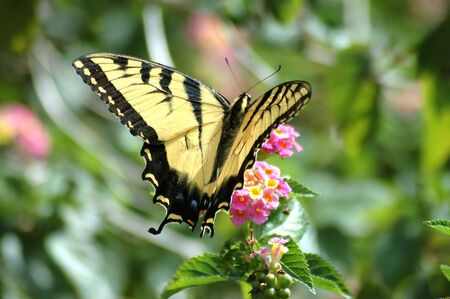 Yellow Swallowtail Butterfly Stock fotó